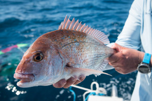 Queensland snapper and pearl perch closed season
