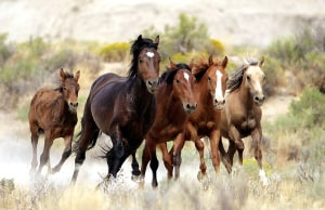 NSW Drags the Chain On Feral Horse Control and Double Standards Surrounding Them