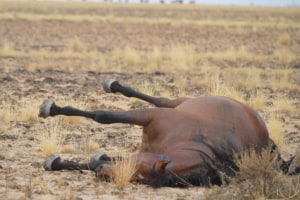 Police Investigating Multiple Brumby kill in Victoria's High Country
