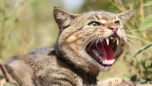 A New Cat Bait Called Curiosity Could Dent Australian Feral Cat Populations