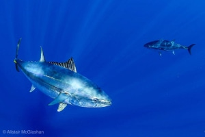 Southern bluefin tuna documentary launch