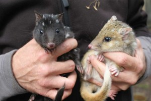 Eastern quolls will soon be reintroduced after being wiped out by foxes