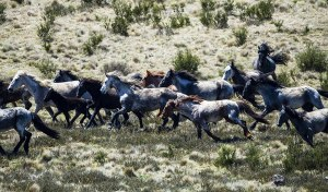 No Culling Victorian Alpine Brumbies in Management Plan