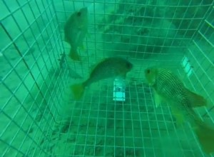 VIDEO: Barotrauma in golden snapper