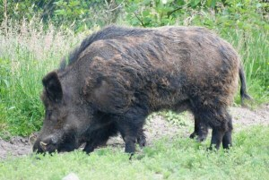Feral pigs found to have Leptospirosis in Western NSW