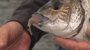 Video: How-to catch black bream