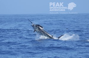 OPINION: A big blue marlin caught off Exmouth was killed, but that's OK
