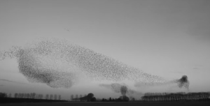 Video: Watch millions of starlings flying in sync