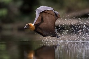 Behind the lens: How I captured diving flying foxes during Sydney's heatwave