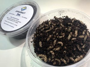 Spikebait: Superior size live Aussie fishing bait