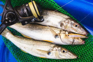 Recreational Fishing Alliance calls for increased possession limits