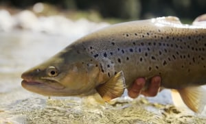 "VIDEO: ""The Introduction"", New Zealand's brown trout story"