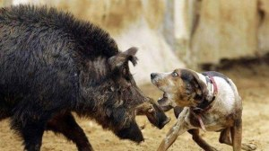QLD Pig Hunter Fined $5000