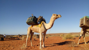 Hike with camels in the Flinders Ranges