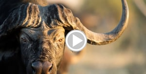 Hunter Stabs Buffalo to Death to Save Pinned Guide