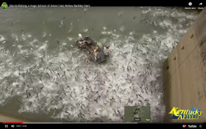 VIDEO: Electrofishing carp