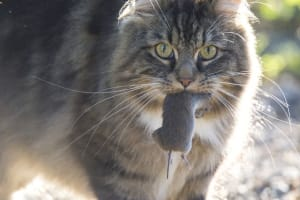 New Approach to Controlling Feral Cats