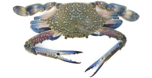 Blue swimmer crab: a summer celebration