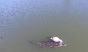 VIDEO: Massive croc drags cow down river