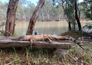 Croc found in Murray River