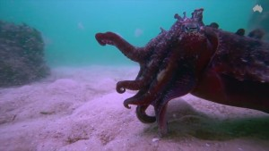 VIDEO: Cuttlefish hunting prey