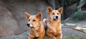 Dingoes Will No longer be Classified As Native Animals In WA