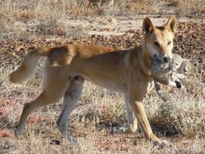 Draft Strategy to Reintroduce Dingoes into Victorian State and National Parks