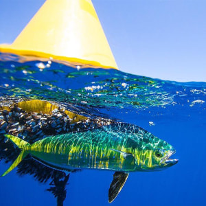 Dolphinfish FAD to FAD Recapture
