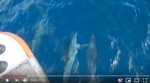 "Watch dolphins ""holding hands"" as they bow ride"