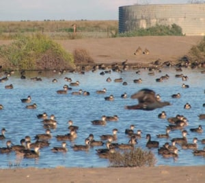 Water Bird Numbers Being Affected by Drought