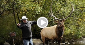 Fly Fishing Next to Bugling Elk