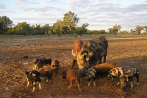 Hunters Helping Farmers - Bales for Boars