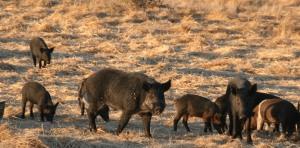 Free Traps and Baits to Cull Feral Pigs Throughout Drought