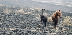 Feral Horse Cull Urgently Needed