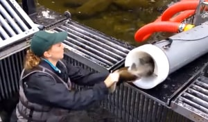 "VIDEO: ""Fish canon"" helping salmon spawn"