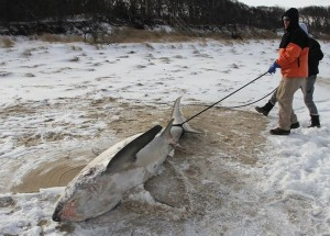 Frozen sharks washed up in US