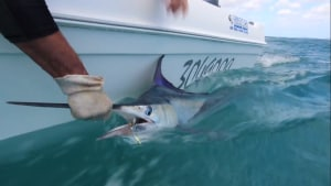 VIDEO: Hervey Bay black marlin