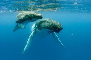 The beauty of humpback whales feeding