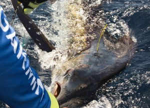 NSW DPI Fisheries: How to tag game fish