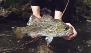 VIDEO: Jungle perch