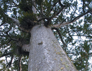 Once were giants: New Zealand kauri