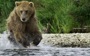 Alaskan anglers close call with brown bear
