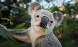 Queensland releases koala strategy plan