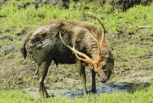Hunting the magnificent sambar (part one)