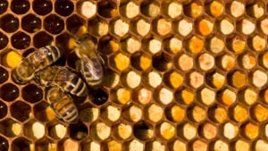 Manuka honey advocates push for authenticity
