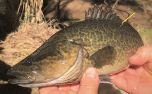 Science helping Murray cod and irrigators