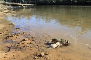 Murray crayfish population clawing back