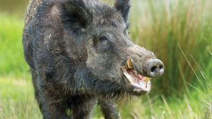 Woman killed by feral pigs in 'tragic, rare incident'