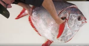 VIDEO: Fish filleting level 'Expert'!