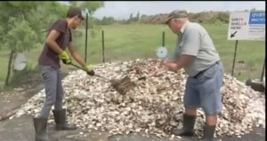 "Oyster shells to combat ""snotweed"""